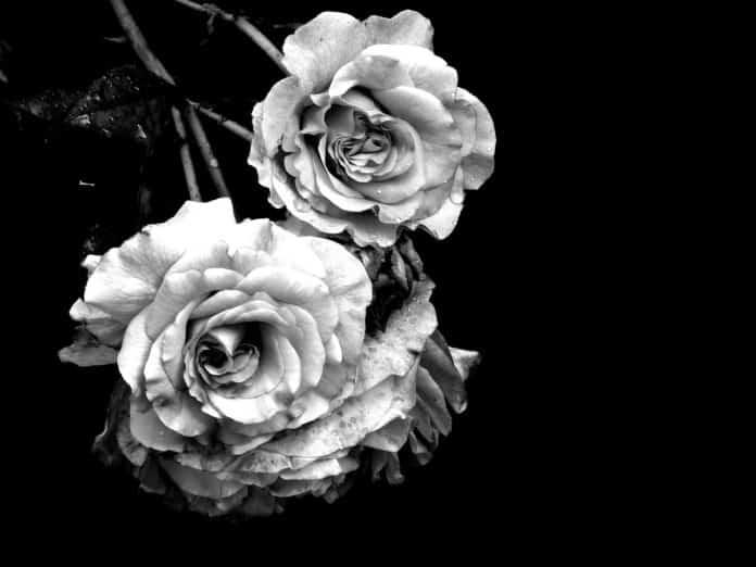 Rosen auf schwarzen Hintergrund